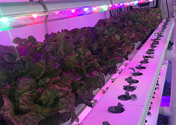 montessori-urban-farm-lettuce-under-the-lights